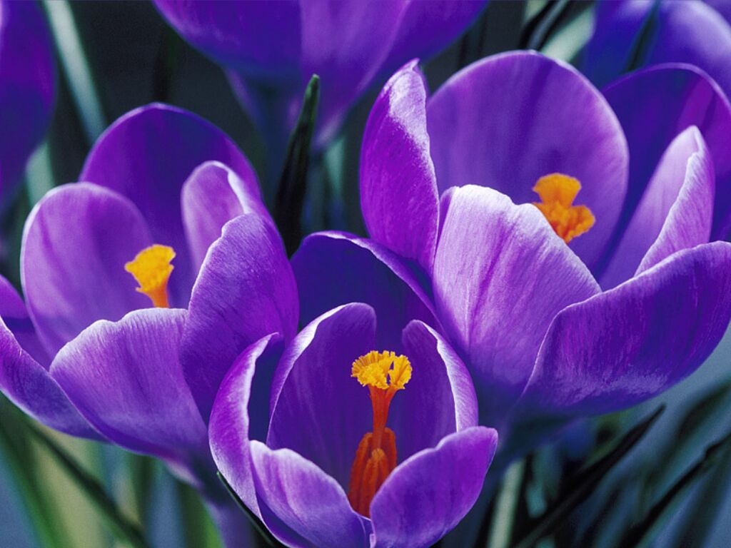 http://framboise782.free.fr/Fleurs_printemps/crocus1.jpg