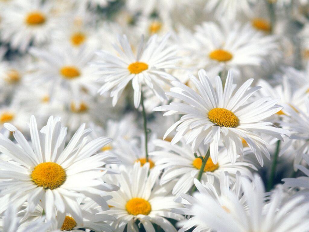 http://framboise782.free.fr/Fleurs_printemps/marguerite066.jpg