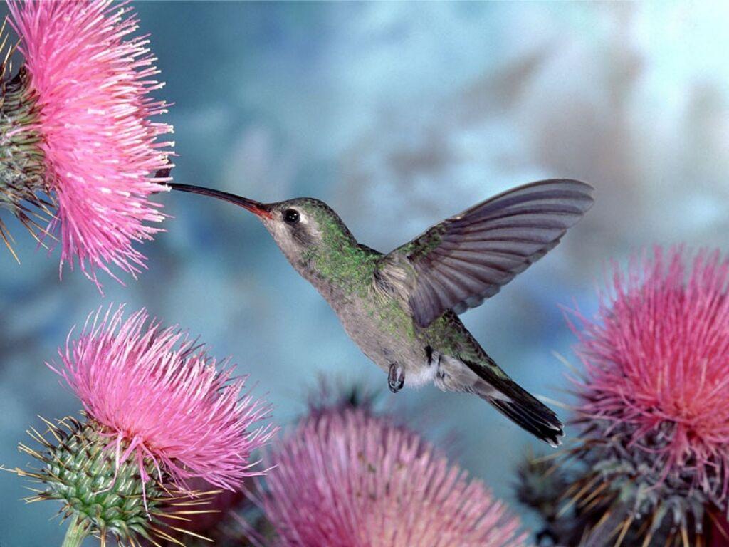 Chantent les oiseaux